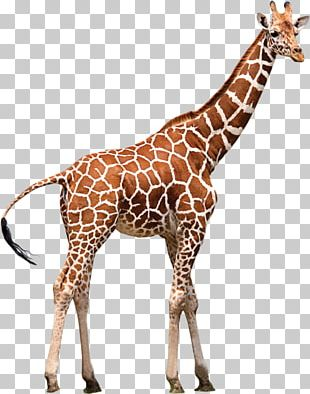 Northern Giraffe Drawing Childhood Animal PNG, Clipart, Animal.