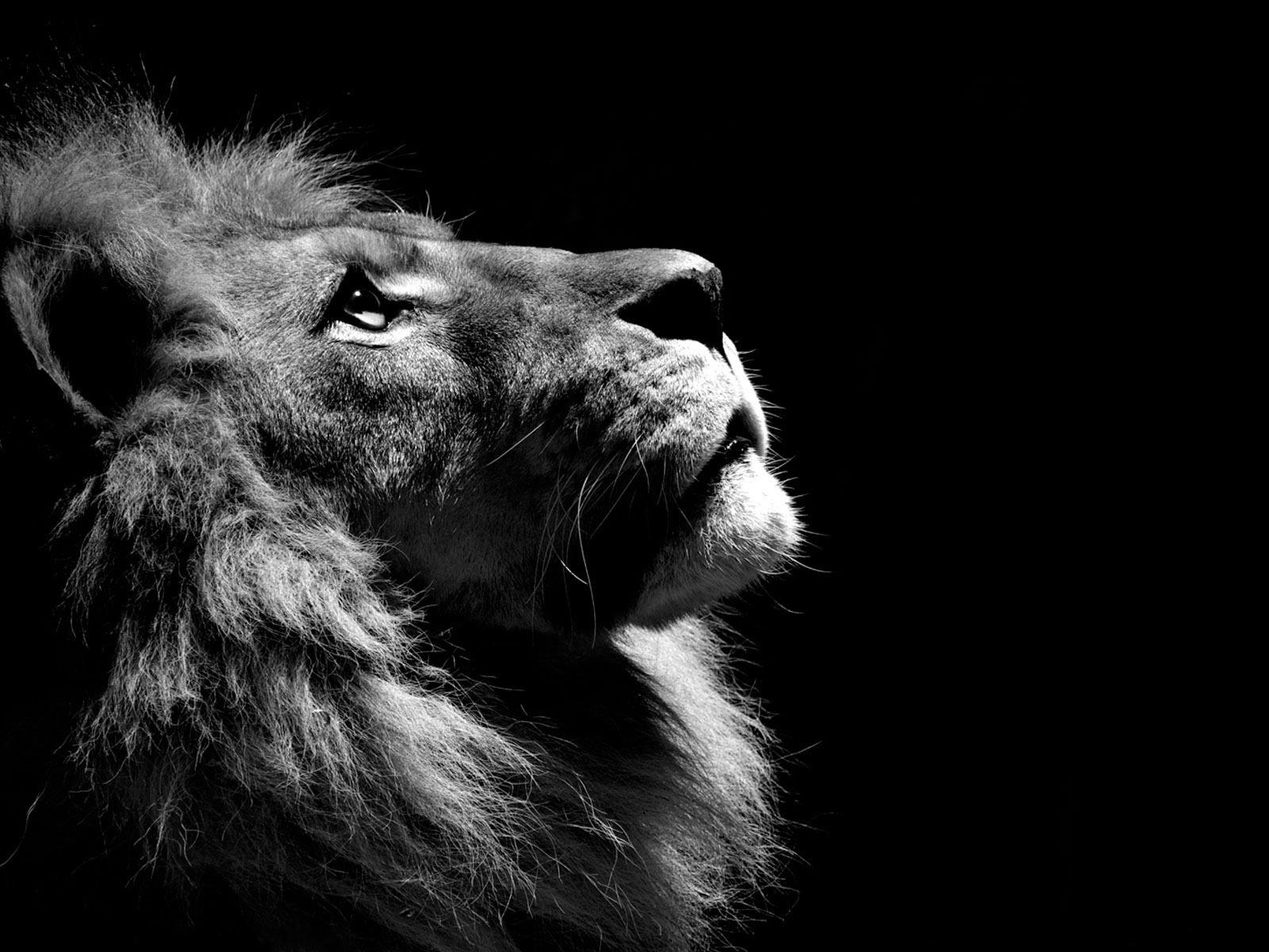 17 Best ideas about Black Lion on Pinterest.