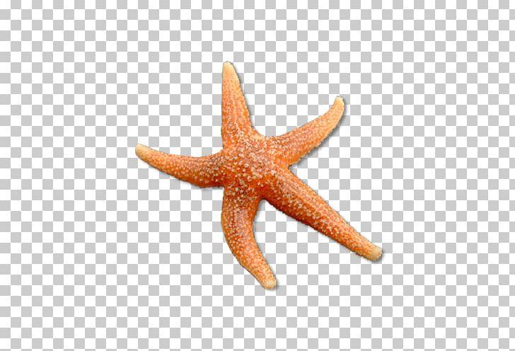 Common Starfish Echinoderm Science PNG, Clipart, Animal.
