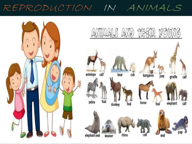 reproduction in animals.