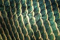 Animal Body Coverings: Scales.