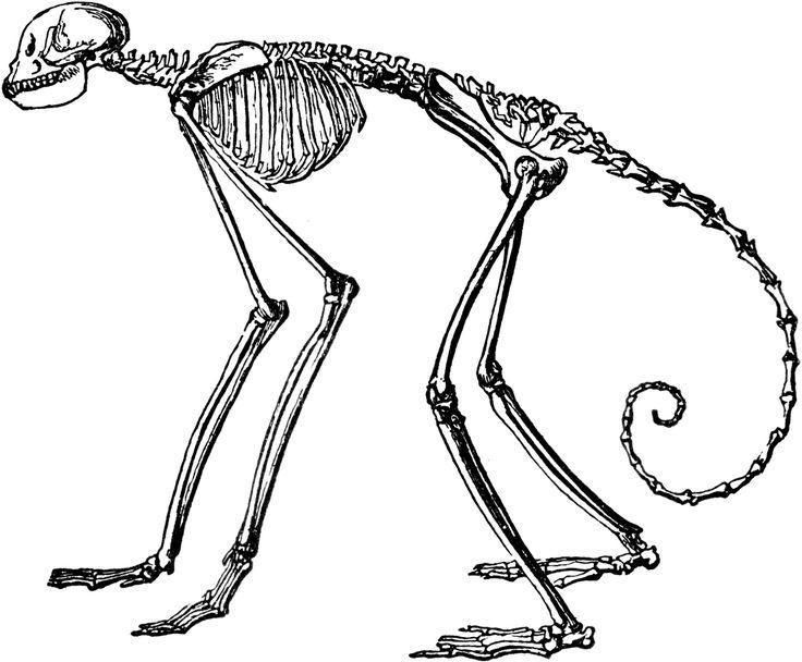 Monkey Skeleton.