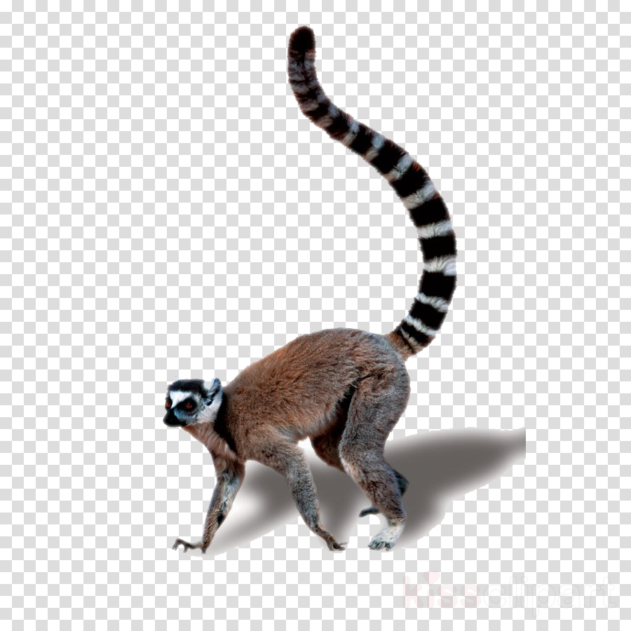 lemur terrestrial animal tail animal figure wildlife clipart.