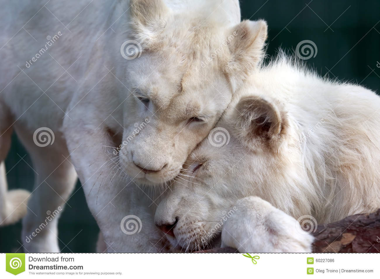White Lion And Lioness Show Each Other Tenderness And Love Stock.