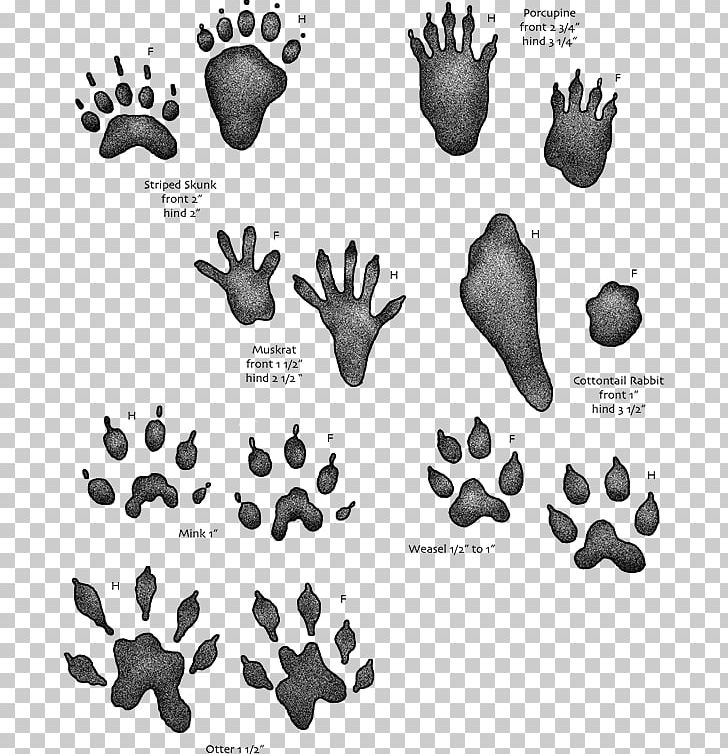 Animal Track Footprint Tracking Muskrat PNG, Clipart, Animal.