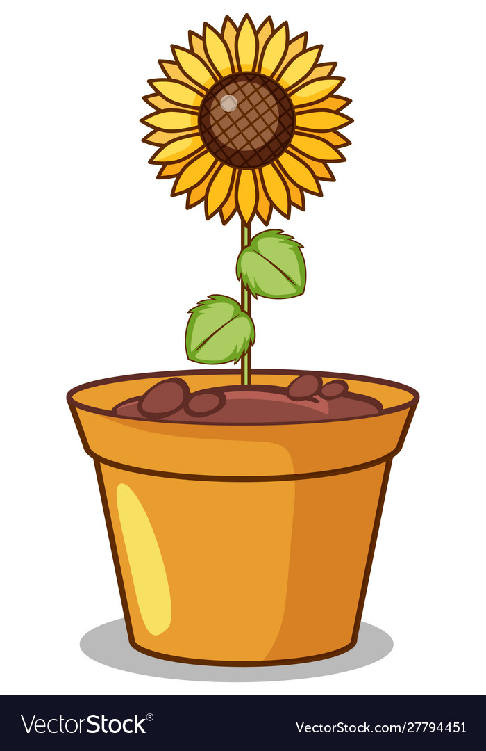 Sunflower in clay pot.