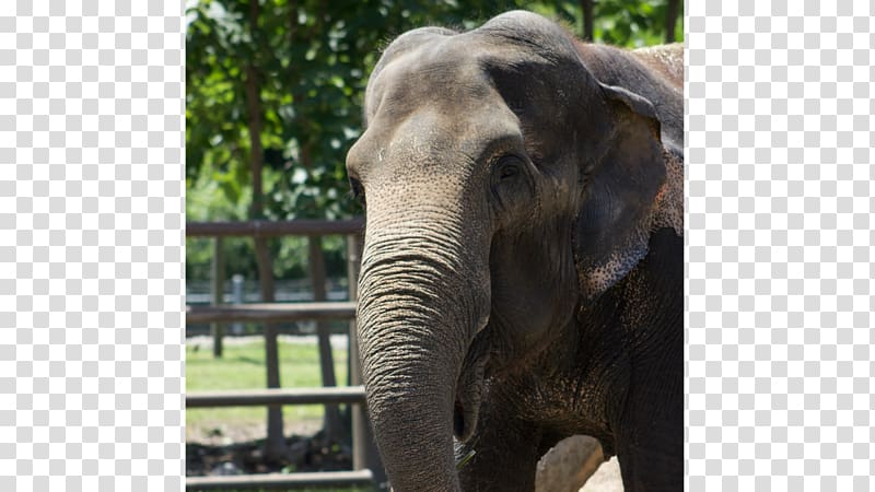 African elephant Sri Lankan elephant Tusk Bandipur National.