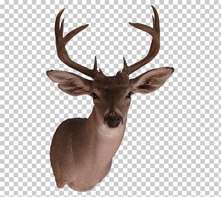 Alce corzo de reno de venado cola blanca, animales salvajes.
