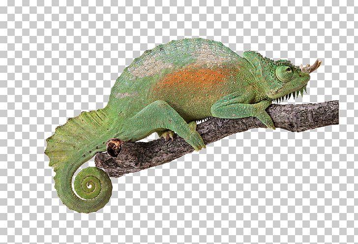 Reptile Chameleons Light Turtle Lizard PNG, Clipart, Anatomy.