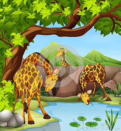Giraffe Drinking Water At The Pond Stock Vector.