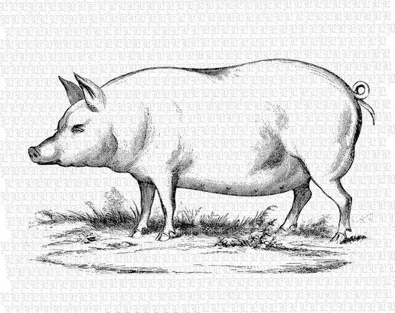 Pig Illustration Antique Black White Illustrations Vintage.