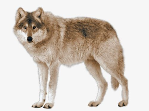 Real Wolf PNG, Clipart, Animals, Animals Wolf, Carnivores.