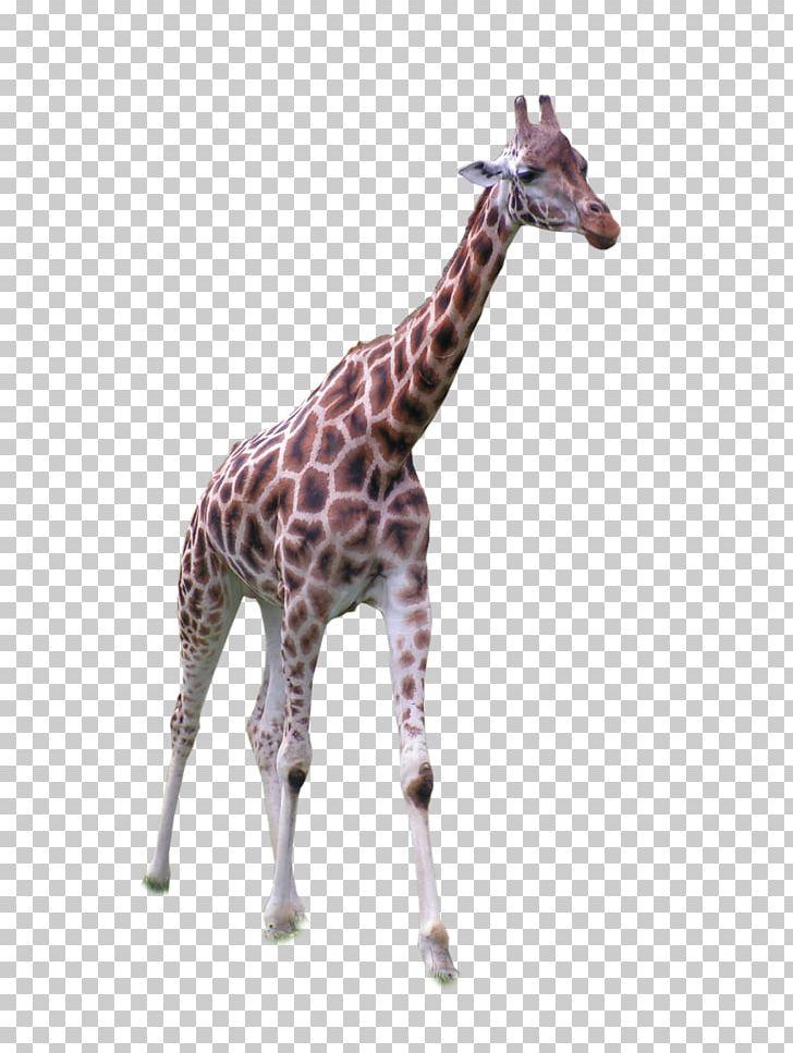 Africa Northern Giraffe Grassland PNG, Clipart, Africa.