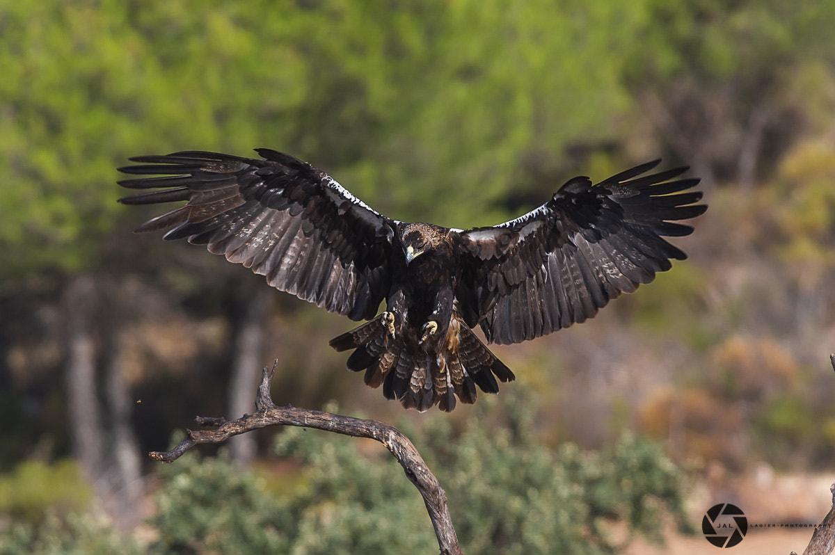 Spanish imperial eagle.