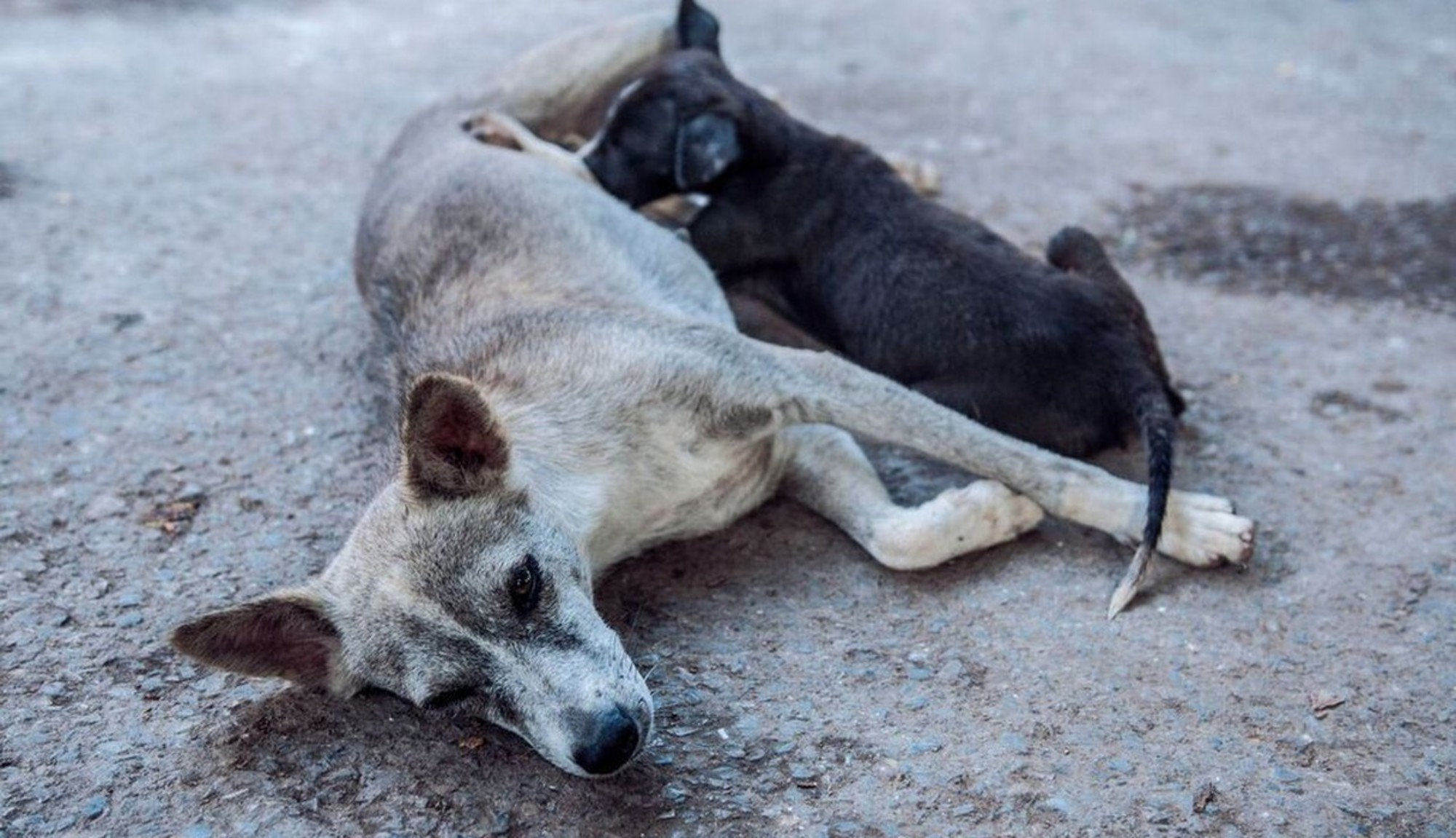 Why Are There So Many Street Dogs in India?.