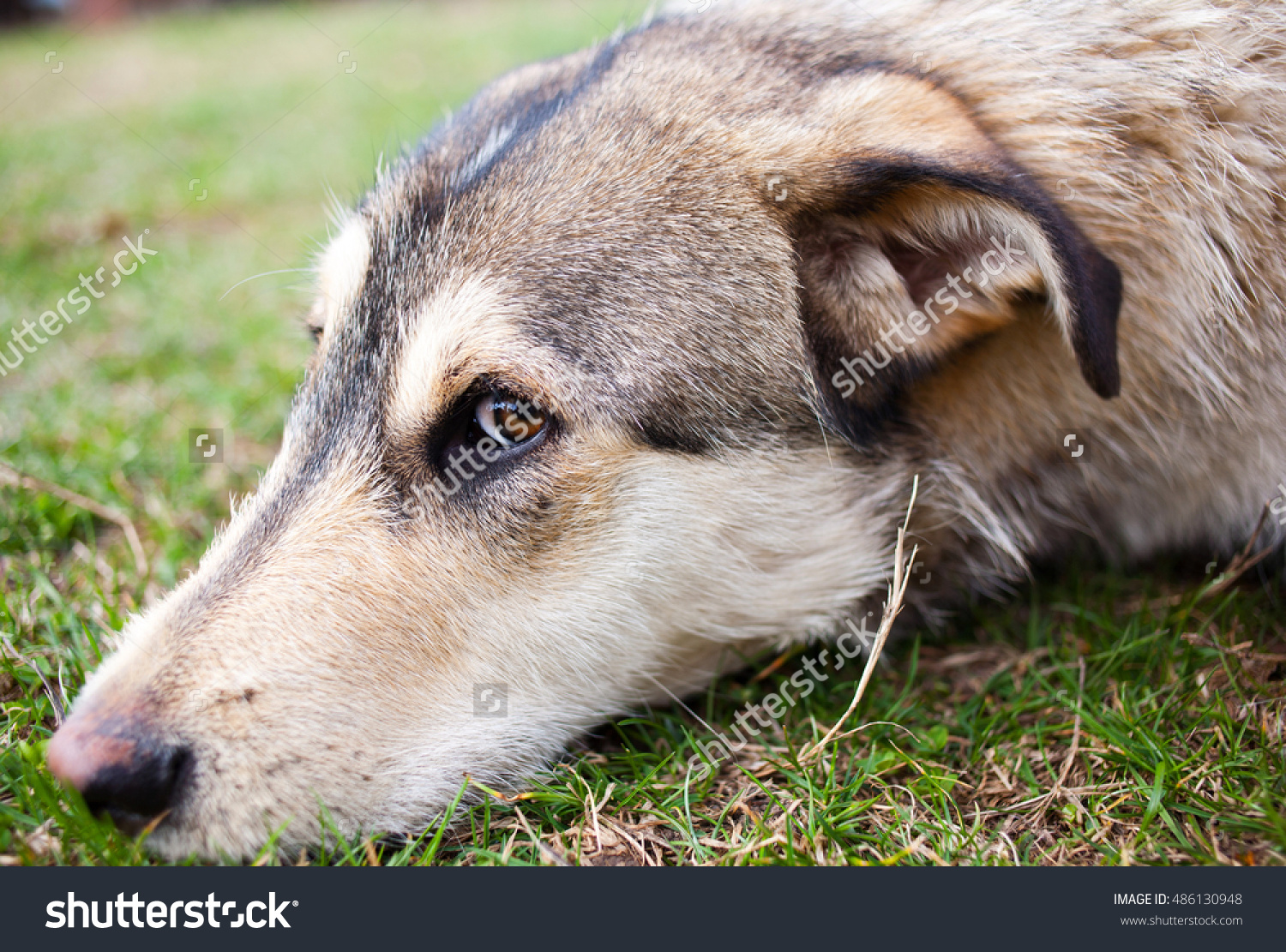 Thoughtful Dog Sitting His Head On Stock Photo 486130948.