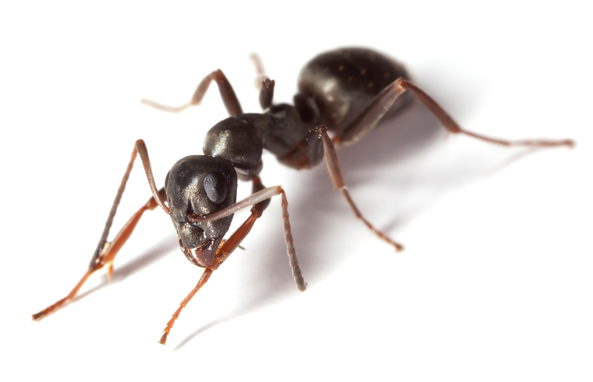 How Many Legs Do Ants Have?.