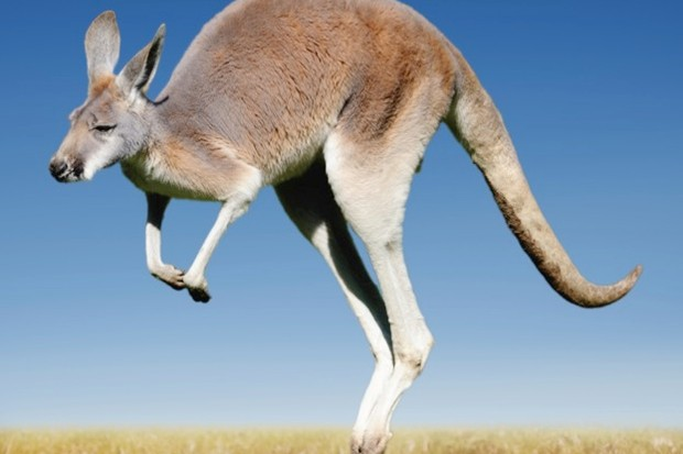 How many legs does a kangaroo have?.