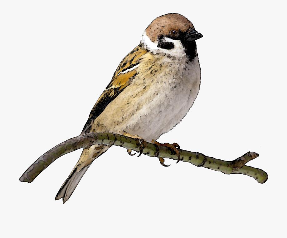 Sparrow Bird Information In Urdu , Transparent Cartoon, Free.