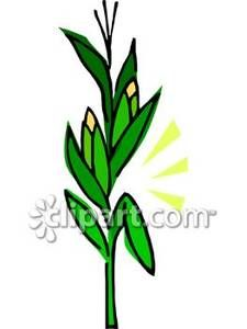 Corn Stalk Cartoon Images.