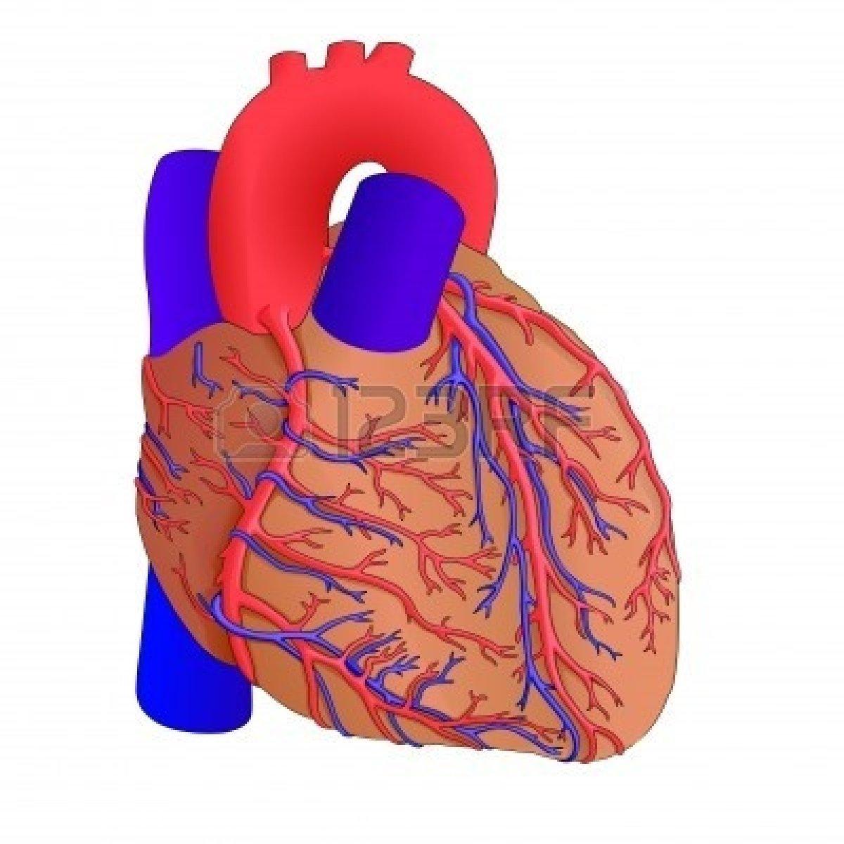 Animated Human Heart Clipart Human Heart Anatomy Cliparts.