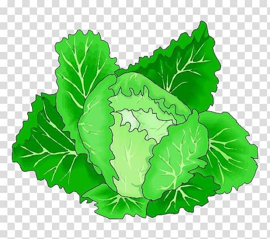 Leaf vegetable Cabbage , Cartoon green cabbage vegetables.
