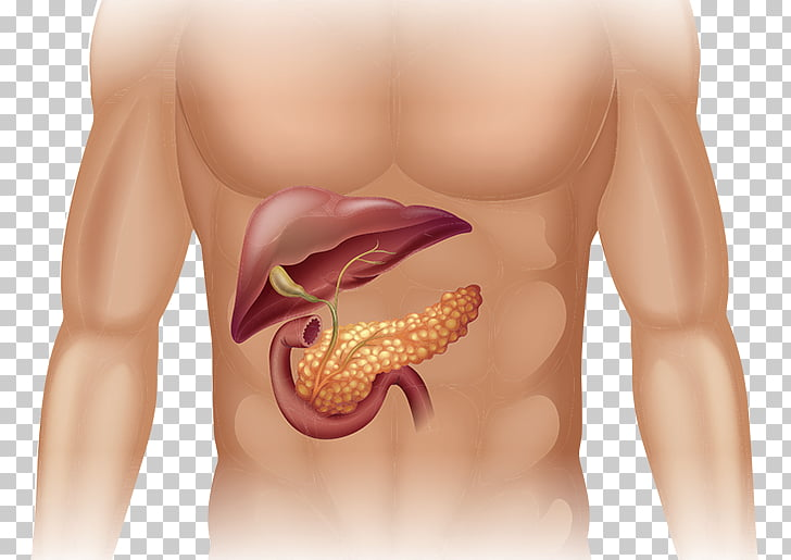 Human body Pancreas Anatomy Organ Diagram, others PNG.