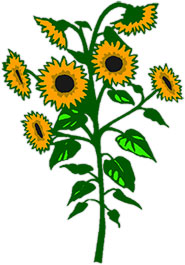 Free Sunflowers.