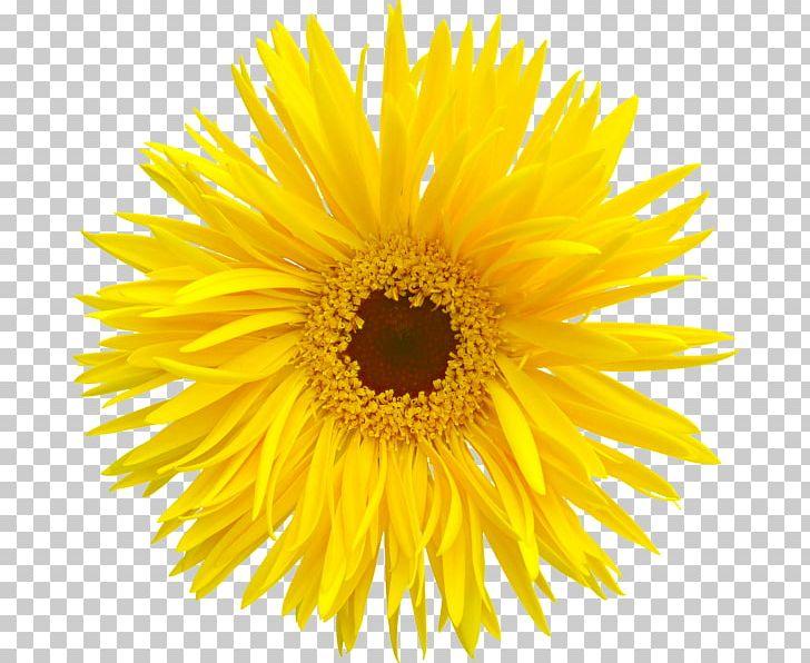 Animation PNG, Clipart, Animation, Chrysanthemum Chrysanthemum.
