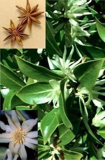 Botanical Information of Star Anise and Illicium verum..