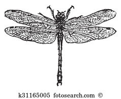 Anisoptera Illustrations and Stock Art. 15 anisoptera illustration.
