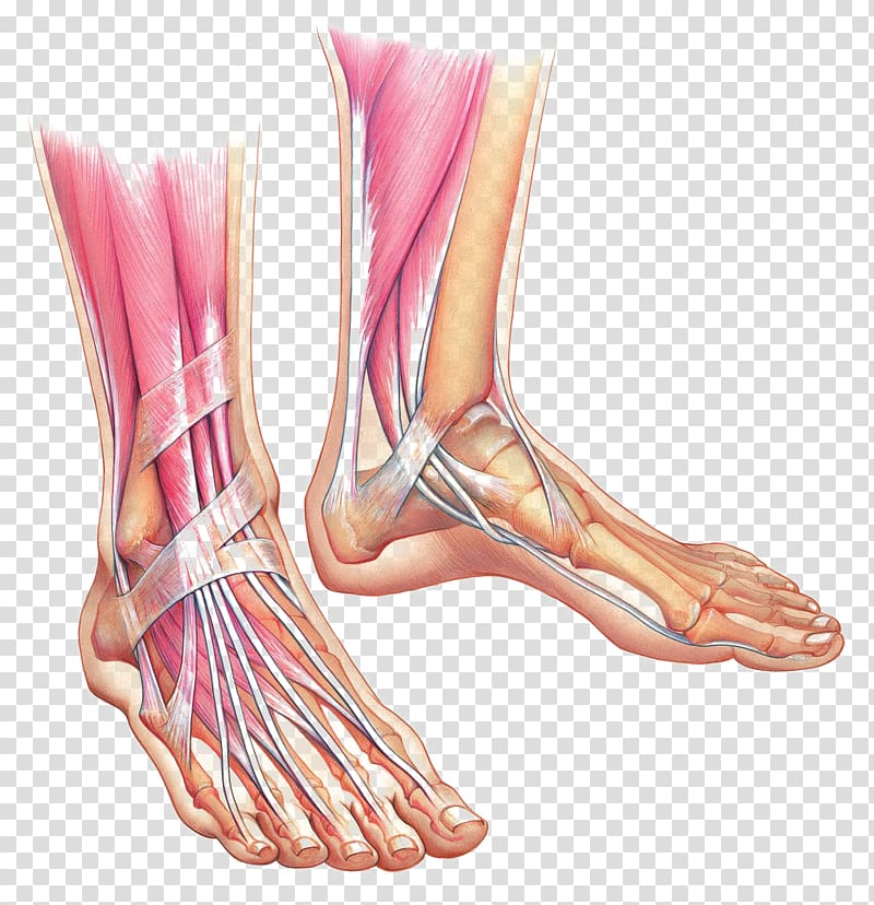 Human leg muscle illustration, Foot Anatomy Muscle Ankle.