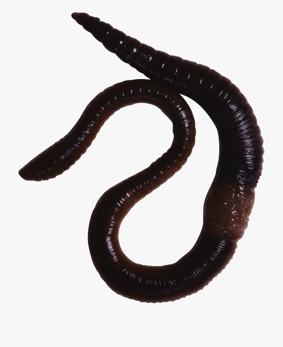 Worm Clipart Annelida.