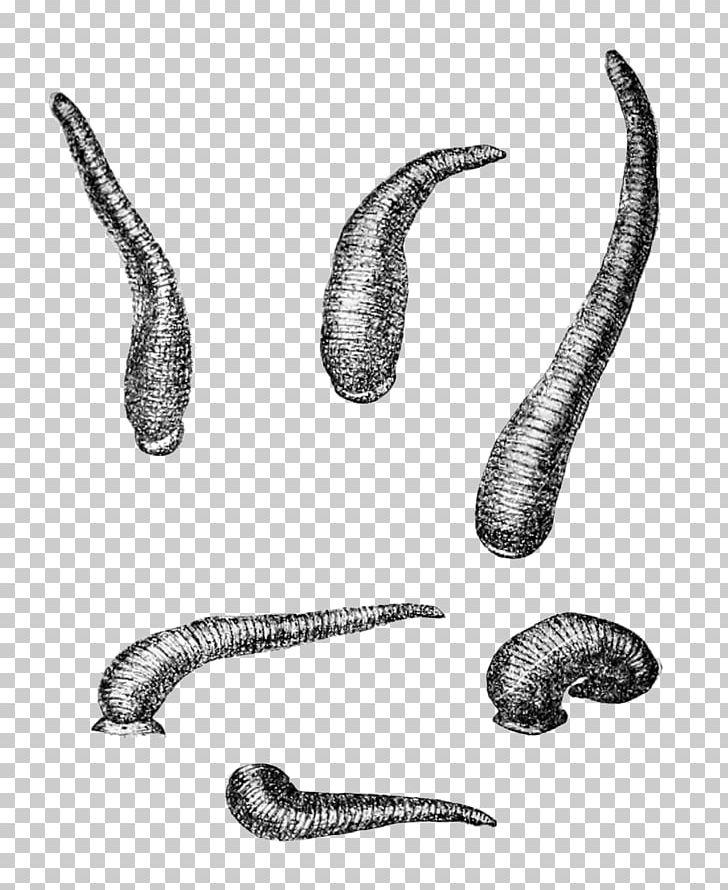 Worm Limnatis Nilotica Leech Wikipedia Hirudinidae PNG.