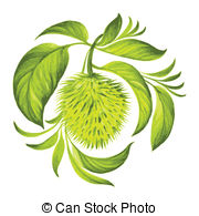 Annona muricata Clipart Vector and Illustration. 14 Annona.