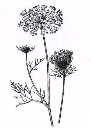 Queen anne's lace clipart.