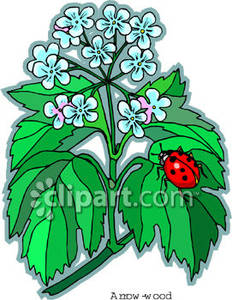 A_Ladybug_on_a_Queen_Anns_Lace_Plant_Royalty_Free_Clipart_Picture_090207.