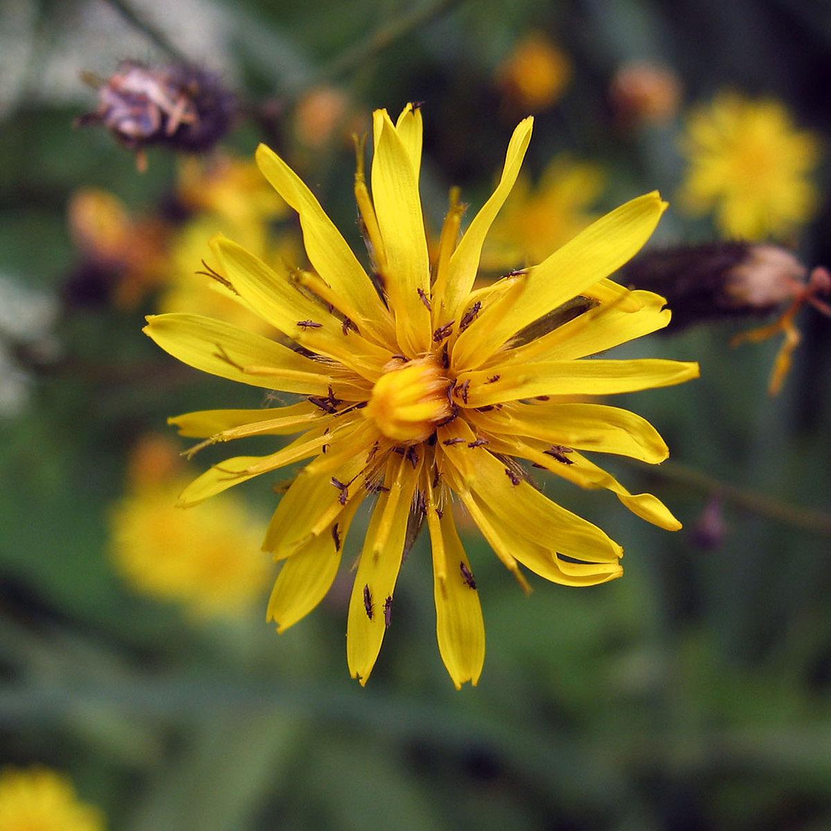 Crepis tectorum.