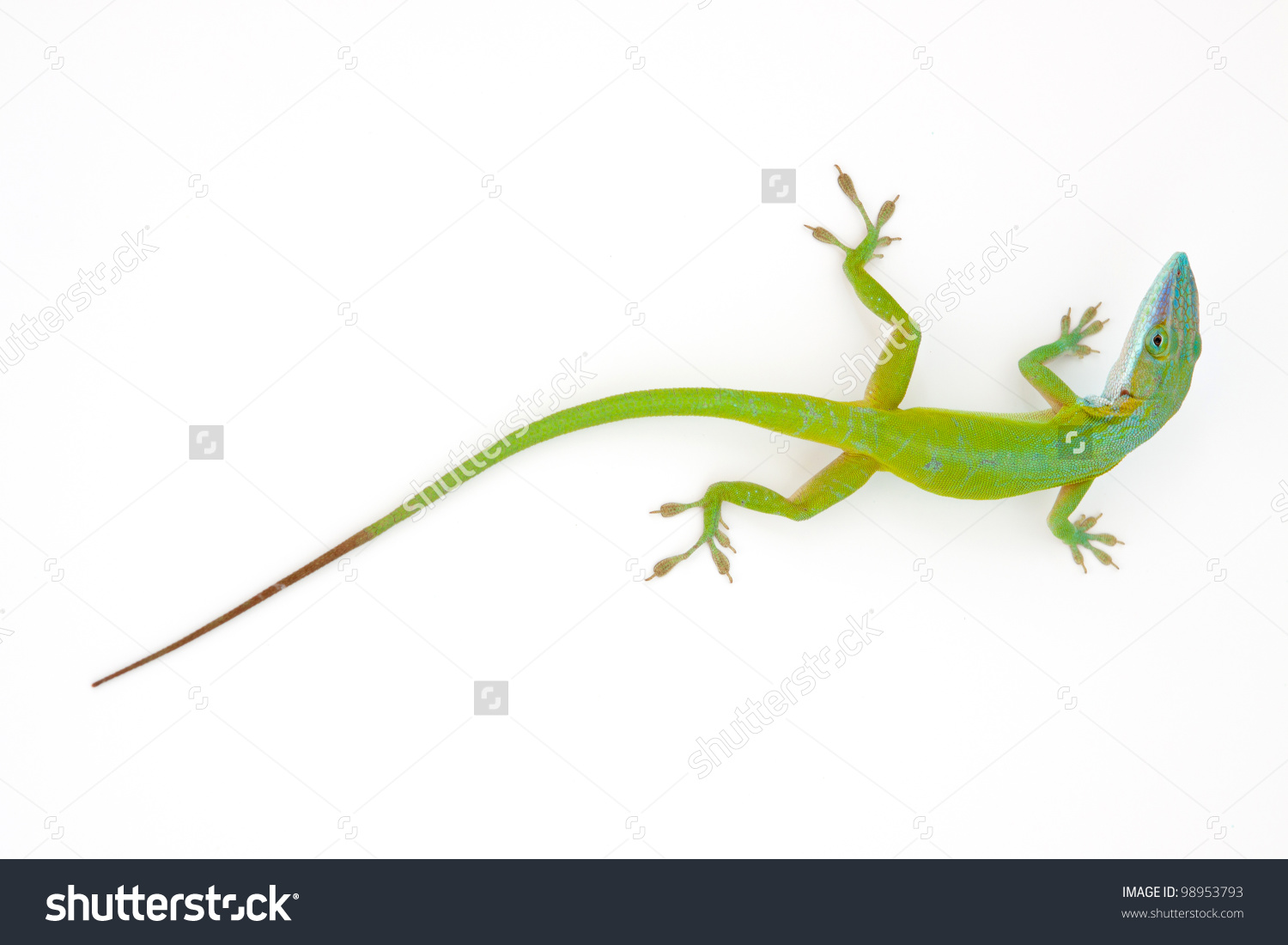 Carolina Anole Anolis Carolinensis On White Stock Photo 98953793.