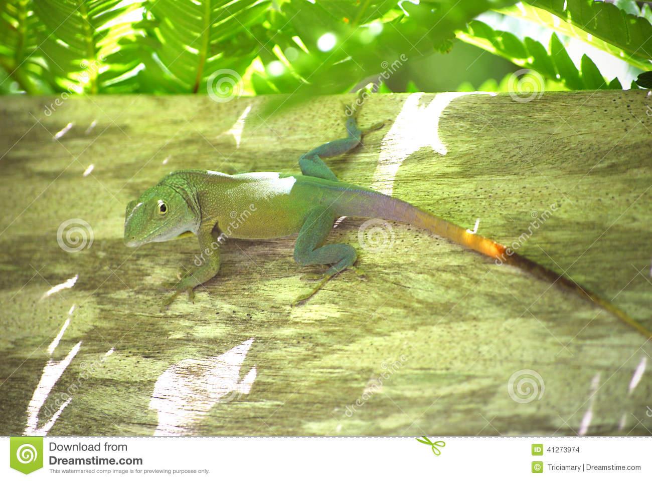 Jamaican Anole Lizard (Anolis Grahami) Stock Photo.