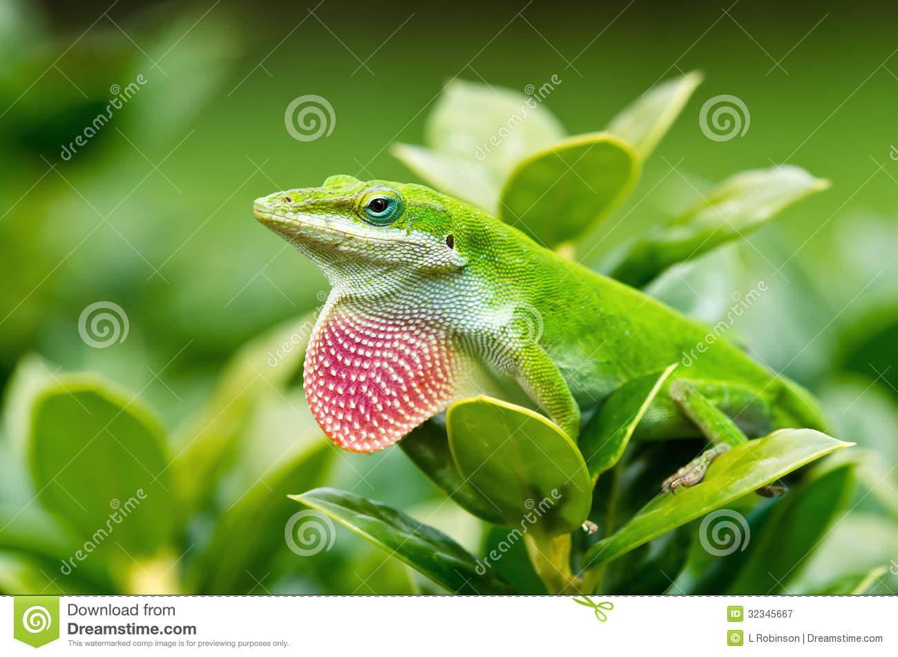 Green Anole Lizard (Anolis Carolinensis) Royalty Free Stock.