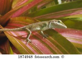 Anole lizard Stock Photos and Images. 395 anole lizard pictures.