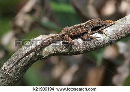 Stock Photo of Brown Anole Lizards (Anolis sagrei) k21906194.