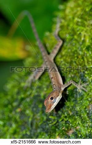 Stock Images of Anolis, Anole Lizard, Tropical Rainforest, Costa.