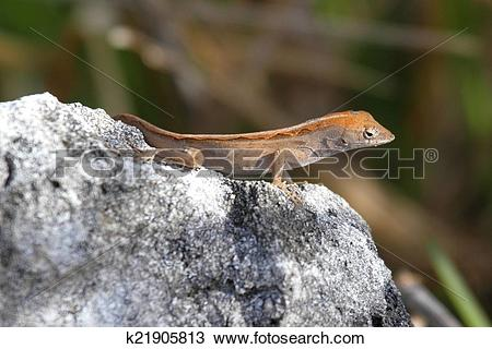 Stock Photo of Brown Anole Lizard (Anolis sagrei) k21905813.