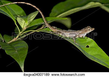 """Stock Photograph of """"Ortoni's Anole, lizard (Anolis ortonii."""