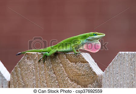 Stock Images of Green Anole lizard (Anolis carolinensis) showing.