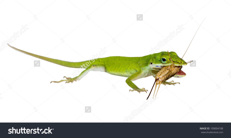 Lizard Northern Green Anole Anolis Carolinensis Stock Photo.