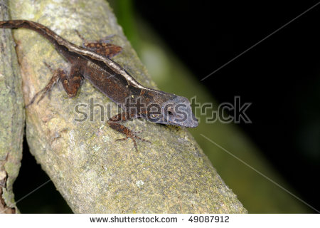 """brown Anole"" Stock Photos, Royalty."