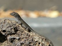 Anolis Sagrei, Brown Anole Royalty Free Stock Photo.